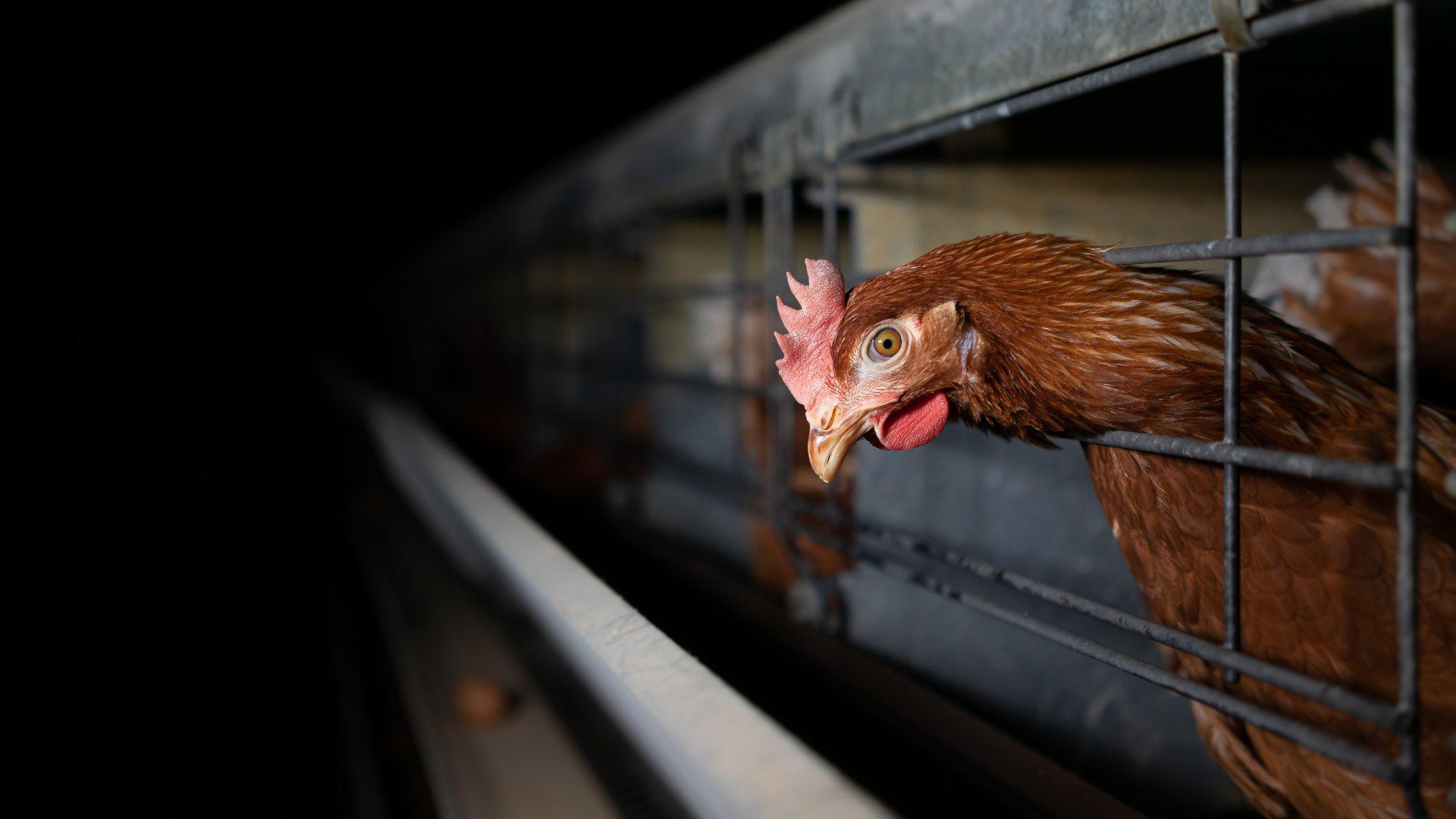 Layer Hen in Victoria